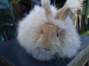ethical-angora-rabbit